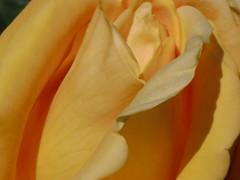 Yellow rose close up (rosaliamarteaga17) Tags: california flowers summer naturaleza sun flower color colour art primavera nature rose yellow garden j spring flor group jardin rosa grace monaco amarillo verano sanfranciscobay eastpaloalto princessgraceofmonaco perfectpetals amazingdetail silveramazingdetails ringexcellence ringofexcellence goldamazingdetails platinumamazingdetails ilrosetoprincess madaboutflowers pazziperifiori