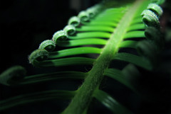 Green Bridge (Batikart) Tags: light sun sunlight white plant black fern color colour macro green art texture nature leaves lines closeup canon germany geotagged deutschland licht leaf europa europe dof background curves natur pflanze fraktal line diagonal growth fractal growing grn curve makro blatt effect sonne bltter weiss schwarz farn fibers 2012 effekt treefern g11 fibres fellbach unfurl badenwrttemberg linien kurven baumfarn fasern 100faves 200faves viewonblack cyatheales batikart plantfibers canonpowershotg11 plantfibres 201309 planzenfasern