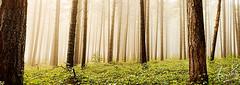 Sugar Pine Walk Pano (sachman75) Tags: mist forest woods australia nsw vegetation newsouthwales laurelhill canon1740mmf4 batlow sugarpinetrees canon5dmarkii sugarpinewalk bagoforest