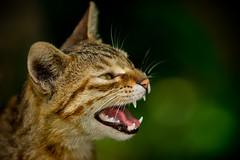 "五股的街貓.~☆喵喵 Mew Mew ☆~. (Fu-yi) Tags: color detail cute animal zeiss standing cat work mix sony taiwan lovely alpha dslr 台灣 tones mammalia 動物 貓 135mm 可愛 喵喵 carlzeiss 五股 流浪貓 formosan 街貓 felidae 顏色 米克斯 wuku 福爾摩沙 哺乳類 色調 ""flickraward"" 貓科 新北市 ""flickraward5"" ""flickrawardgallery"" 卡爾蔡斯"