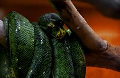 snake (Adventurer Dustin Holmes) Tags: serpent ilan ular animalia nab schlange madu suge ejo serpiente ula  serpente ylan reptilia serp anguis krme nathair chordata serpentes  ophidia w squamata   gyvat serpento neidr kgy ahas    zmija nyoka  kaa     ska    gjarpr carnivorousreptile conrn  koulv    carnivorousreptiles  arpe agw    nakahi