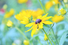 Treasured Memories (affinity579) Tags: flowers summer colors yellow garden happy nikon colorful colours ngc wildflowers blackeyedsusan colouful 105mm rudbeckiahirta coth d700