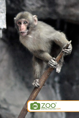 Japanese Monkey on branch