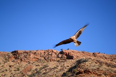 (samcgill2001) Tags: bird northernterritory alicesprings centralaustralia birdinflight alicespringsdesertpark