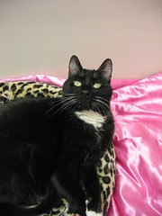IMG_0208 (divinehawaii) Tags: cats pets animals blackcat handsomeboy luckycharm smartcat
