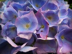 Hydrangea (catherine329) Tags: flowers macro garden hydrangea closeups