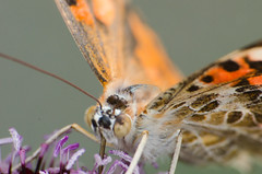 Butterfly 1 (mjustiniano1) Tags: flower color macro gardens closeup butterfly insect botanical photography fly dc washington nikon colorful vibrant moth petal bee tiny 200 micro pollen bumble antenna 70300 magnification marumi extensiontubes lensadapter achromat d7000 eyewing