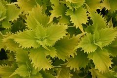 Wasabi Coleus (Lyle58) Tags: greenbeautyforlife
