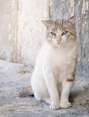{ blind cat } ({ oh angie }) Tags: blue white blanco azul cat blind blueeyes gato straycat ciego ojosazules