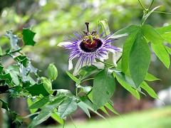 Passiflora × colvillii Sweet 1825 (PASSIFLORACEAE) (helicongus) Tags: spain passiflora passifloraceae passifloraxcolvillii jardínbotánicodeiturraran