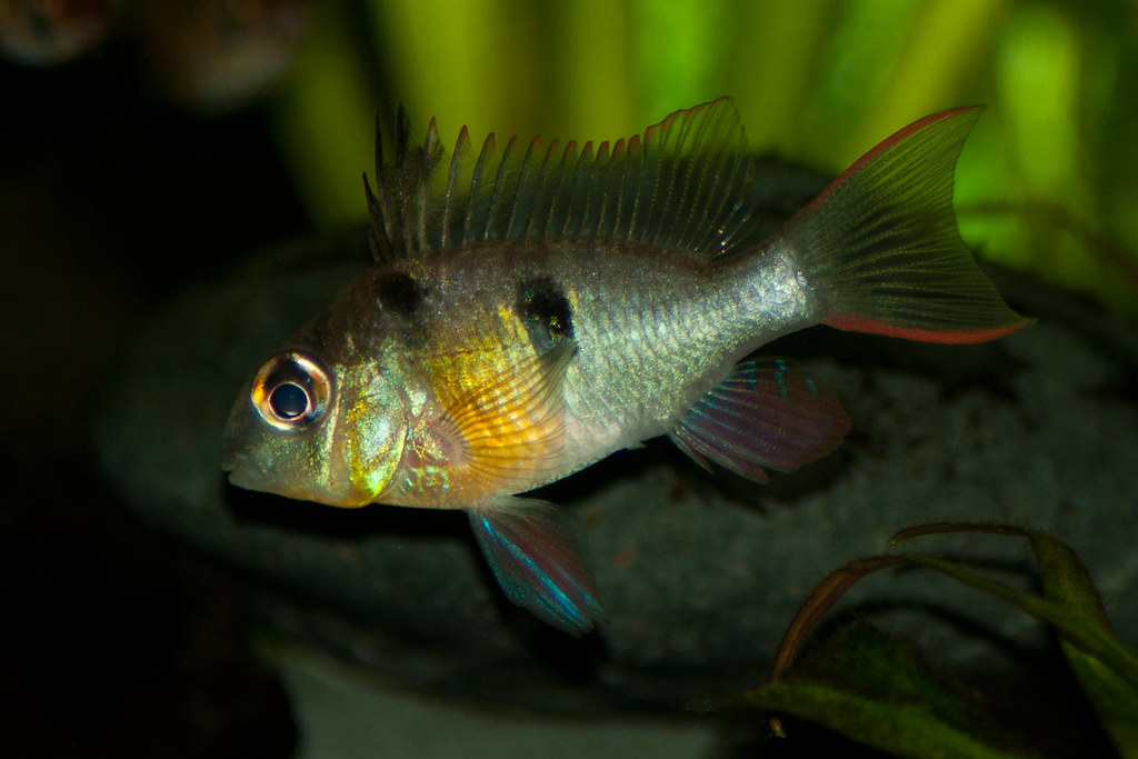 The world 39 s best photos of aquarium and ram flickr hive mind for Fish 2 flirt