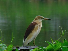 Konch bok / Indian Pond Heron (Ardeola grayii) (Birds of Bengal by Nabarun Sadhya) Tags: india bird heron nature pond wildlife indian sony cybershot breeding kolkata westbengal h50 paddybird ardeola patuli grayii