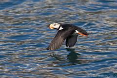 Horned Puffin (phil.jeffrey) Tags: usa bird nature alaska wildlife ak seward avian alcid hornedpuffin fraterculacorniculata sewardpelagic