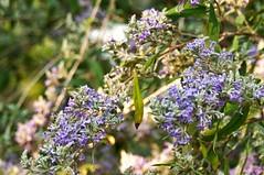 Buddleia salicifolia