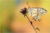 """PEACH COLOR (Siprico - Silvano) Tags: natura cernuscosulnaviglio naturalistica macrofografia """"macro siprico fotografianaturalistica 100commentgroup smallcreatureswilllovethisplace pricoco silvanopricoco wwwpricocoorg httpwwwpricocoorg wwwfotografiamacrocom fotografiamacrosbuzznbugzcanonsoloreflexmacrofotografiafotografia"""