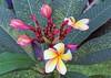 Frangipani (rustyproof) Tags: flower tree temple plumeria egg malaysia borneo frangipani apocynaceae sabah kota champa kinabalu deva yolk melia calachuchi kalachuchi chafa araliya abigfave sacuanjoche ganneru