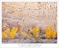 Cliff, Fall Color, Escalante River (G Dan Mitchell) Tags: autumn trees cliff usa color fall monument nature yellow america river season print landscape gold evening utah sandstone box bottom north stock twist canyon upper national elder cottonwood license escalante grandstaircase muley regged