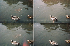 (hazel.jane) Tags: water duck lomo lomography