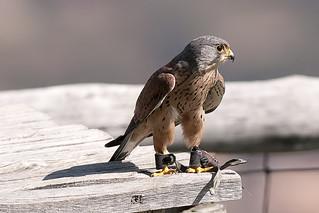 CFR7712 Falco Tinnunculus