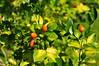 Murraya paniculata_月橘_芸香科 (judymonkey17) Tags: murraya paniculata 月橘 芸香科