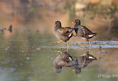 2X2, pour two by two... (Régis B 31) Tags: bird oiseau ariège gallinulachloropus gruiformes commonmoorhen mazères gallinulepouledeau rallidés domainedesoiseaux