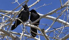 Life Mates (joecrowaz) Tags: blue trees arizona sky white black birds page crows lifemates
