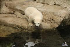 Eisbr Lili im Zoo Bremerhaven 30.04.2016 Tei 1  113 (Fruehlingsstern) Tags: polarbear lloyd lili bremerhaven zooammeer valeska eisbr seelwen canoneos750 tamron16300