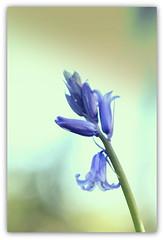 Blue bells (ursulamller900) Tags: blue hyazinthe helios442