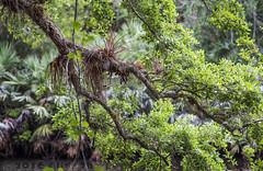 Halpatiokee Park (Alida's Photos) Tags: park trees river florida stuart halpatiokeepark