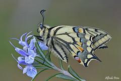 Papilio machaon (alfvet) Tags: macro nature ngc butterflies natura npc insetti farfalle parcodelticino lepidotteri platinumheartaward veterinarifotografi macaoni
