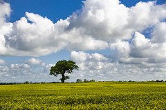 Uppington tree (bigbluewolf) Tags: blue sky cloud white yellow clouds countryside spring nikon shropshire may sigma rapeseed wrekin 18250 18250mm d7000