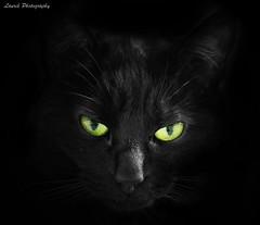 my lovely cat (laurek.photography) Tags: pet green monochrome cat eyes chat noir vert yeux