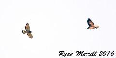 Broad-winged & Swainson's Hawks (rjm284) Tags: birds washington adult birding may wa neahbay swainsonshawk broadwingedhawk swha bwha rjm284 bahokuspeak