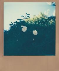 White flower (Matthew Paul Argall) Tags: flowers flower whiteflower polaroid600 polaroidimpulseaf impossibleproject