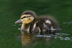 _F0A8062.jpg (Kico Lopez) Tags: birds rio spain aves galicia lugo mio anasplatyrhynchos anadeazulon