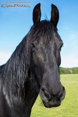 Portrait d'un cheval noir (Gg 66) Tags: horse cheval pentax bourgogne yonne dy pentaxk1