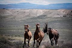 Snakec (suzanneballard) Tags: horse wildhorses sandwashbasin