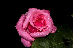 raindrops in pink rose (Robert_cp) Tags: pink flower color macro rain rose spain flash catalonia raindrops lleida colorsinourworld