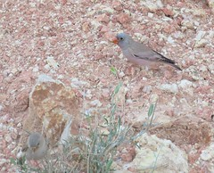 Trumpeter Finch (tom_2014) Tags: wild mountain bird nature ecology birds gulf wildlife uae middleeast finch alain crags unitedarabemirates biodiversity trumpeter jebelhafeet mountainous passerine trumpeterfinch bucanetesgithagineus fringlidae