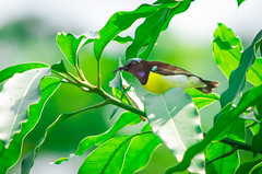 Purple-Rumped Sunbird (Fazle R. Rumman) Tags: bangladesh sunbird purplerumped