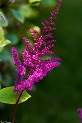 Disney Flowers (Kent Freeman (On Hiatus)) Tags: california pentax disneyland 300mm da k3