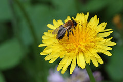 Miner bee feeding on dandelion #1 (Lord V) Tags: macro bug insect bee andrena minerbee