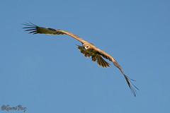 Buzzard (parry101) Tags: birds for centre international prey buzzard buzzards icbp