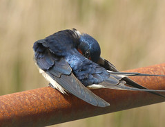 Swallow (Peanut1371) Tags: blue red white bird tail feathers swallow nationalgeographicwildlife