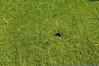 Bunny Birthing Center (32)-6x9 (Paul-W) Tags: rabbit bunny grass yard child birth mother ears 2016 givingbirth