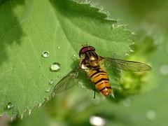 Zweefvlieg (Omroep Zeeland) Tags: goes achtertuin zweefvlieg