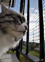 _DSC760401 (chiaratrevisan68) Tags: cats sun nuvole cielo sole gatto domestici animali zampa siberiano