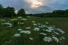 Daisies Before the Sunset (G Michael Lewis) Tags: sunset sky flower nature clouds daisies landscape evening scenery outdoor meadow missouri wildflower ozarks