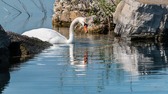 Swan song (paulstewart991) Tags: reflection water swan collingwood harbour wildlife canadian canon70d
