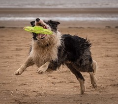 Going in (Chris Willis 10) Tags: beach collie play border will frisbee crosby frisby